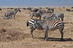 Aligned Zebras Royalty Free Stock Photos