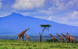Alignement de girafe photographie stock