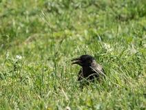 Alikafågeln med den öppna näbb går på gräsmattan Royaltyfri Fotografi