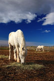 Alimentação agradável do cavalo branco no feno com o cavalo no fundo, obscuridade - céu azul com nuvens Imagem de Stock