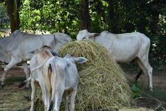 Alimentação animal tradicional em Camboja Foto de Stock