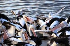 Alimentação australiana dos pelicanos Imagem de Stock