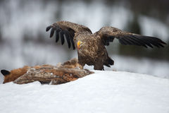 alimentação Branco-atada da águia (albicilla do Haliaeetus) Imagens de Stock Royalty Free