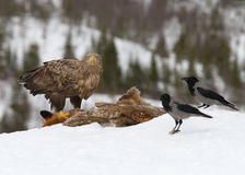 alimentação Branco-atada da águia (albicilla do Haliaeetus) Imagem de Stock Royalty Free