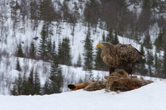 alimentação Branco-atada da águia (albicilla do Haliaeetus) Foto de Stock Royalty Free