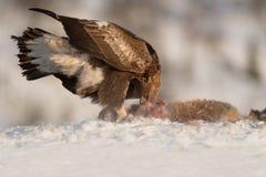 Alimentação da águia dourada. Fotos de Stock Royalty Free
