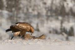 Alimentação da águia dourada. Imagem de Stock