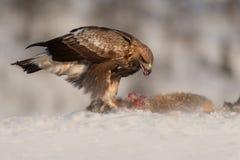 Alimentação da águia dourada. Fotografia de Stock