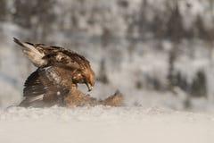 Alimentação da águia dourada. Imagem de Stock Royalty Free