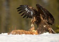 Alimentação da águia dourada (chrysaetos de Aquila) Imagem de Stock