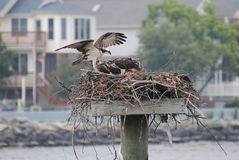 Alimentação da águia pescadora Fotos de Stock