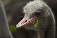 Alimentação da avestruz Fotos de Stock Royalty Free