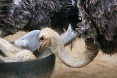 Alimentação da avestruz Fotografia de Stock Royalty Free
