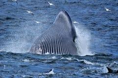 Alimentação da baleia de Bryde fotografia de stock royalty free