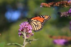 Alimentação da borboleta de monarca Fotografia de Stock Royalty Free