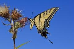 Alimentação da borboleta de Swallowtail do tigre fotos de stock royalty free