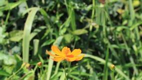 Alimentação da borboleta no cravo-de-defunto video estoque