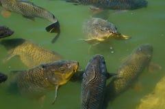 Alimentação da carpa Fotografia de Stock
