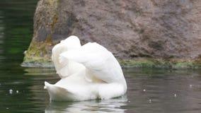 Alimentação da cisne subaquática no slowmo filme