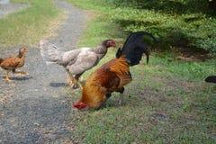 Alimentação da galinha Imagens de Stock