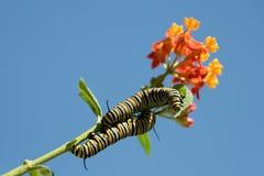 Alimentação da lagarta da borboleta de monarca Fotografia de Stock