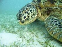Alimentação da tartaruga. Fotos de Stock Royalty Free