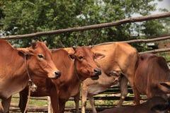 Alimentação da vaca Foto de Stock Royalty Free