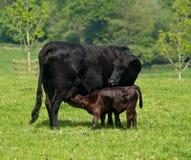 Alimentação da vitela Fotografia de Stock