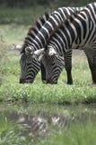 Alimentação da zebra Imagem de Stock Royalty Free
