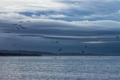 Alimentação das gaivotas e dos pelicanos Fotografia de Stock Royalty Free