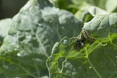 Alimentação das lagartas do branco de couve Foto de Stock