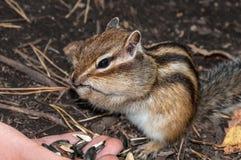Alimentação das sementes da mão do esquilo Imagem de Stock Royalty Free