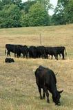 Alimentação das vacas Imagens de Stock