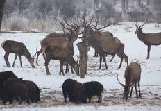 Alimentação de animais selvagens na neve Foto de Stock Royalty Free