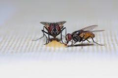 alimentação de duas moscas Imagem de Stock Royalty Free