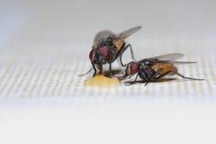alimentação de duas moscas Fotografia de Stock