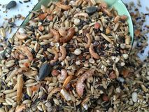 Alimentação de galinha com caranguejos Imagens de Stock Royalty Free