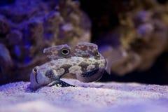 Alimentação de peixes Caranguejo-Eyed do góbio na parte inferior do aquário Imagem de Stock Royalty Free