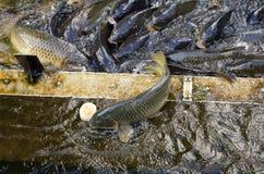 Alimentação de peixes japonesa da carpa imagens de stock