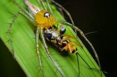 Alimentação de salto da aranha Imagem de Stock
