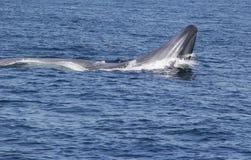 Alimentação de superfície enorme da baleia azul fotos de stock