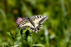 Alimentação de Swallowtail Fotos de Stock