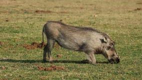 Alimentação de Warthog Fotografia de Stock Royalty Free