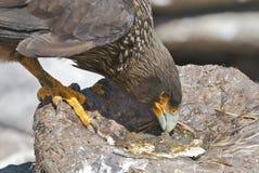 Alimentação do Albatross Fotografia de Stock