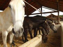 Alimentação do cavalo Fotos de Stock