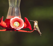 Alimentação do colibri Imagens de Stock Royalty Free