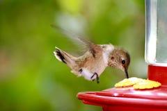 Alimentação do colibri de Allen fotografia de stock