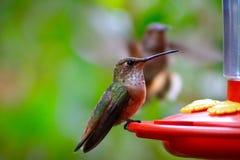 Alimentação do colibri de Allens imagens de stock