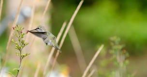Alimentação do colibri de Anna Imagens de Stock Royalty Free