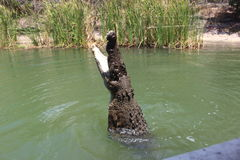 Alimentação do crocodilo Foto de Stock